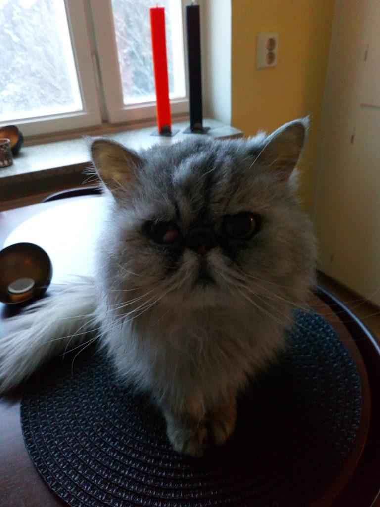 The Persian gentleman Gizmo sitting on the kitchen table