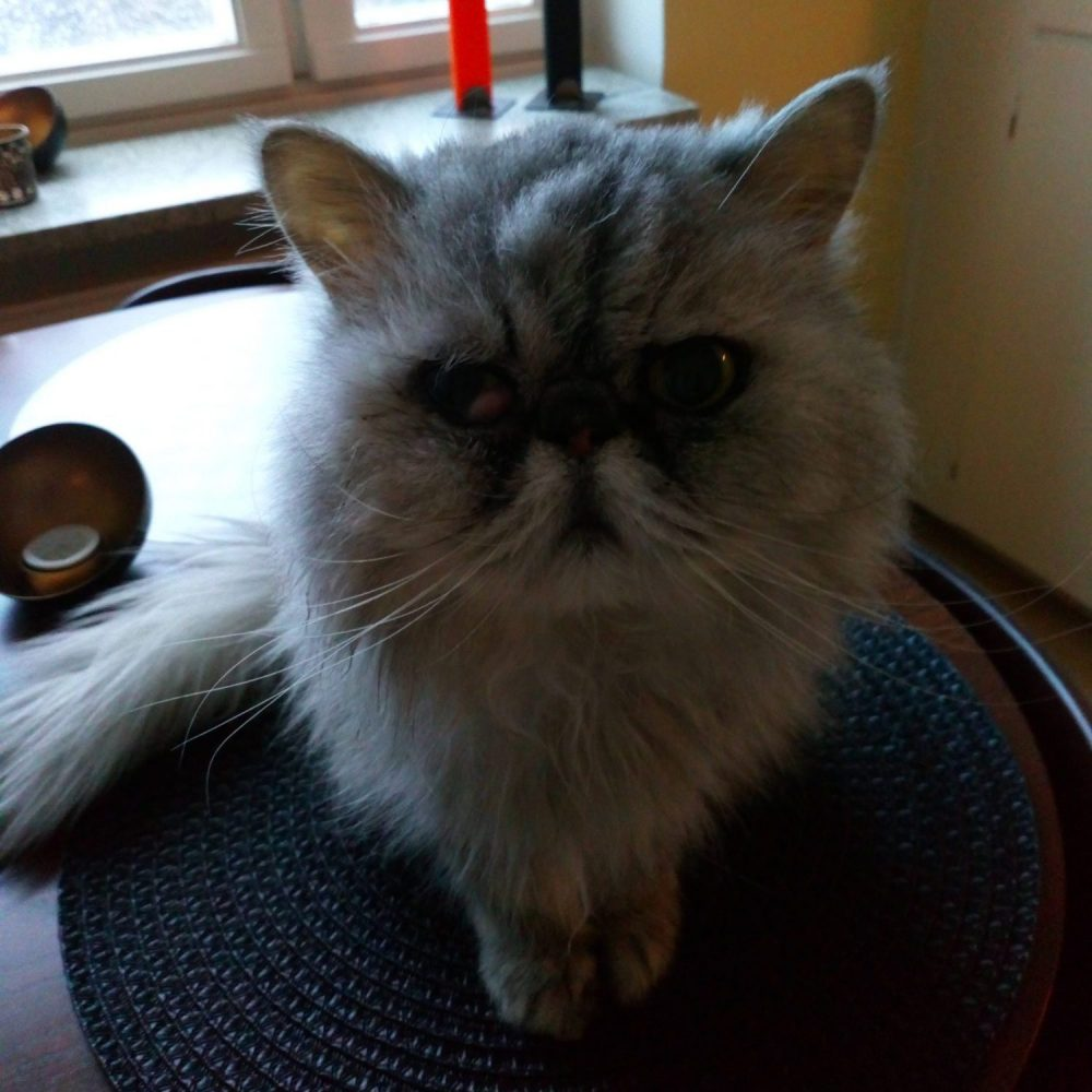 The grey Persian cat Gizmo sits on a kitchen table
