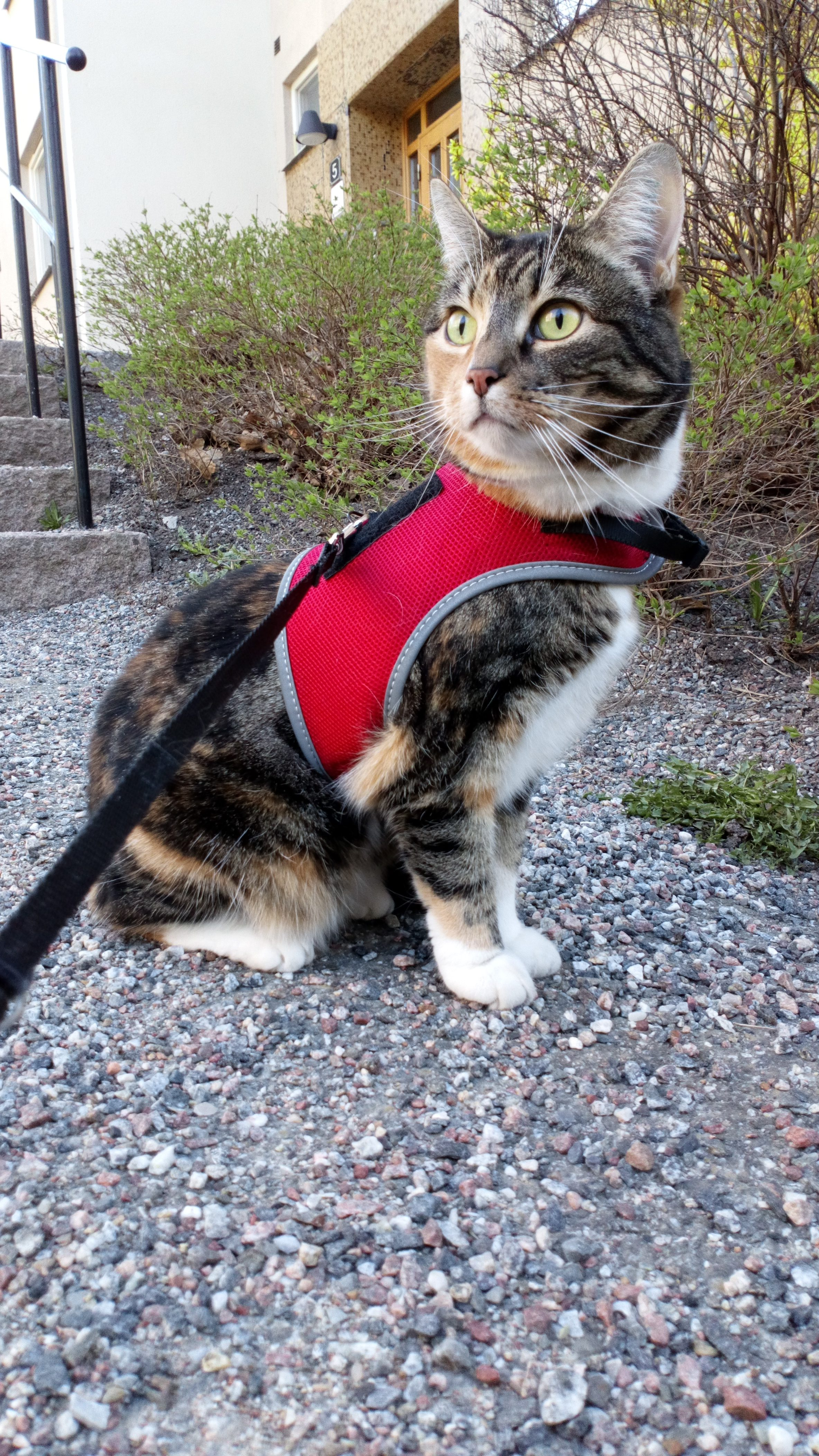 Mushanga showing off her red harness from Trixie